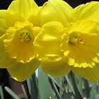 Two Daffodils - NYC - 4-11 by denisespictures