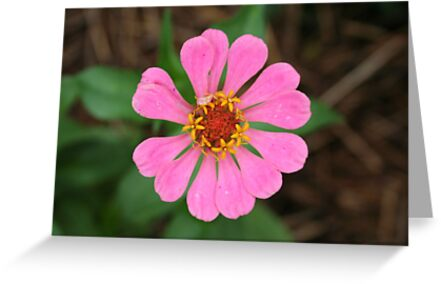 Pink Zinnia - Omega - 7-10 by denisespictures