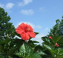 Hibiscus - Red Facing Sun  - VA - 5-08 by denisespictures