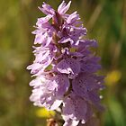 Dactylorhiza Orchid by kalaryder
