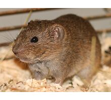 Funky Lemming Photographic Print