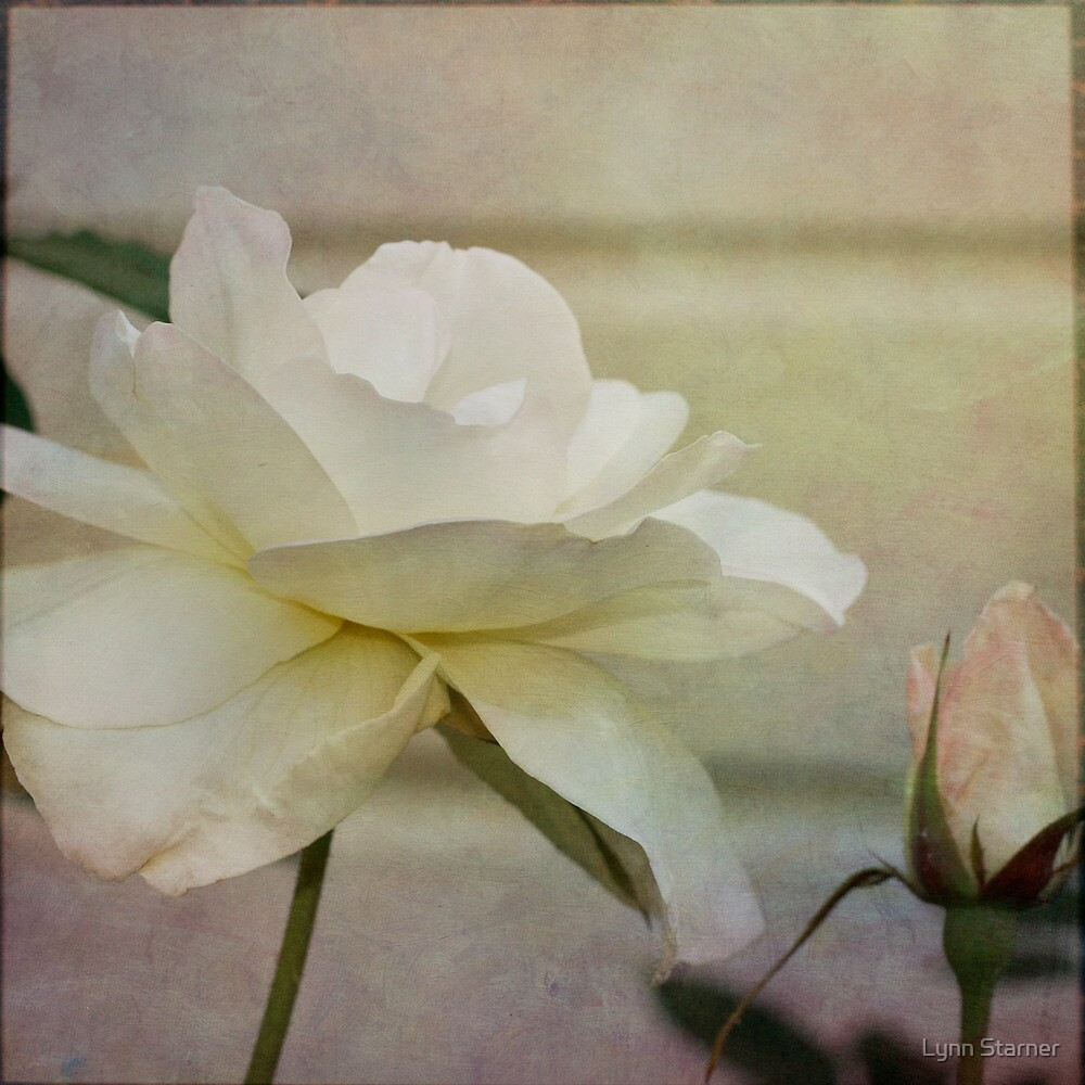 White Rose by Lynn Starner