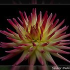 Spider Dahlia On Black by Marvin Mast