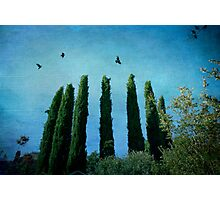 Cypress Trees with Crows Photographic Print