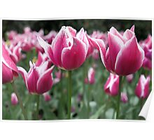 Candy Stripe Tulips Poster