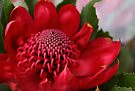 Red Waratah by yolanda