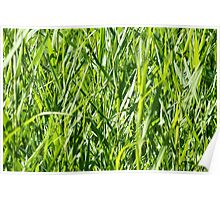 green gras reed Poster