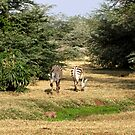 Zebras coming and going. by Sheila Smith
