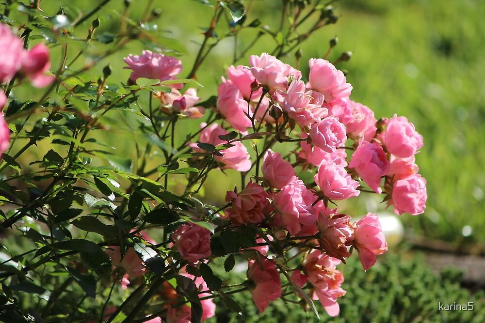 Pink Roses by karina5