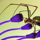Spider by jimmy hoffman