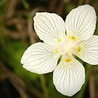 The fascinating little flower of parnassia by steppeland