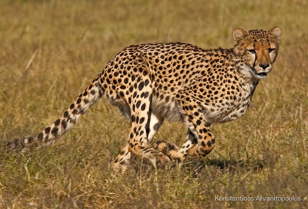 Focus on the prey by Konstantinos Arvanitopoulos