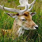 Male Fallow Deer, Close-up by Rod Johnson