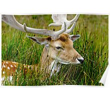Male Fallow Deer, Close-up Poster