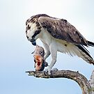 Osprey, pandion haliaetus by Arto Hakola