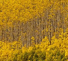 Aspen Golden Harp by nikongreg