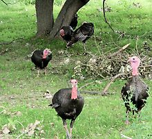 A Bunch of Wild Turkeys in the Forest by Barberelli