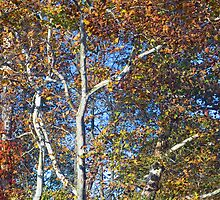 Autumn Sycamore by Kenneth Keifer