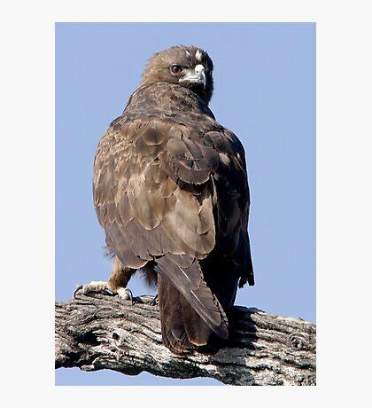 Juvenile Bataleur Eagle Photographic Print