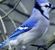 Blue Jay in the Brush Sticker