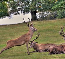 Stags Wollaton Park by Elaine123