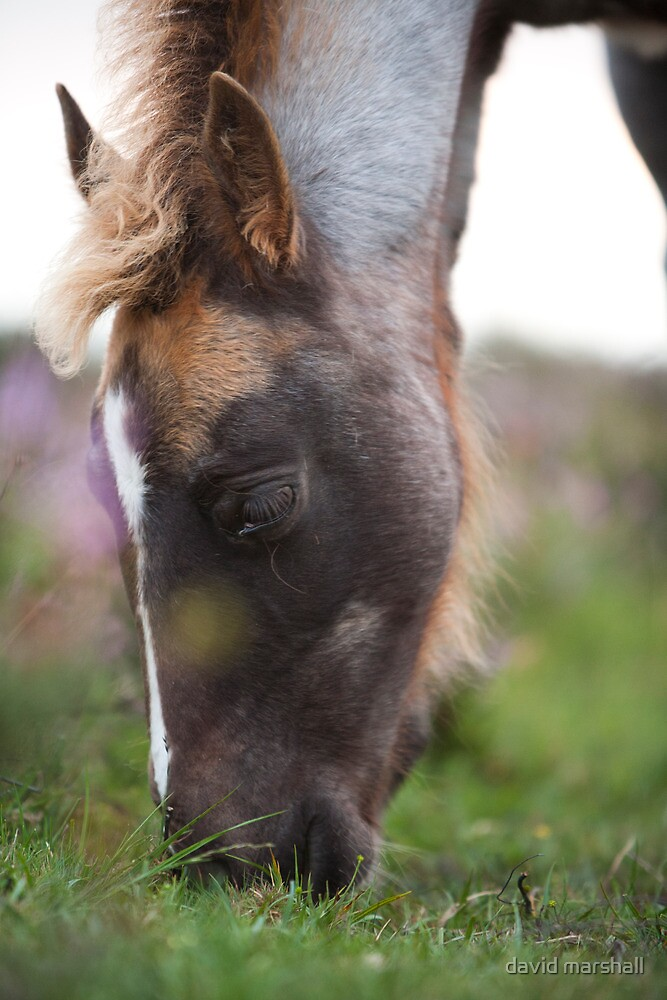 A horse grazing on Nomansland, New Forest, Hampshire.  by david marshall