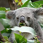 Munching koala bear by jmccabephoto