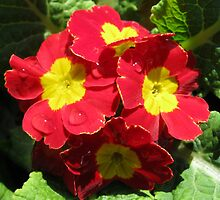 Red Velvet - Scarlet and Yellow Primrose with Raindrops by BlueMoonRose