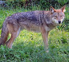 Coyote Eyes by vette