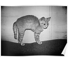 Cute Orange Tabby Kitten with Arched Back, Black and White Poster