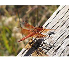 Random Dragonfly Photographic Print
