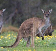 kangaroos on yellow flowers Sticker