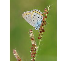 butterfly with sorghum Photographic Print