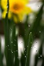 Drip Drop Daffodil by Aerhona