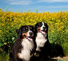 Bernese Mountain Dogs by Tawnydal
