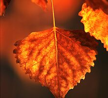 One Aspen Leaf by nikongreg