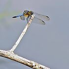 Dragonfly on Twig by Kenneth Keifer