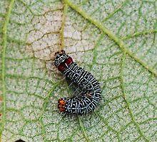 Caterpillar by gcdigiphoto