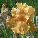 "Bearded Iris - ""Cordoba"" by louisegreen"