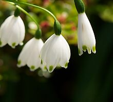 LILY OF THE VALLEY by normanorly