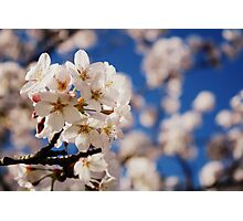 Blossoms of White Photographic Print