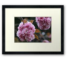 Pink Pom Poms Framed Print