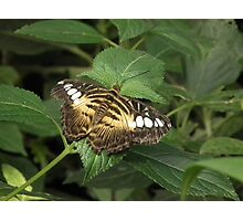 dull butterfly  Photographic Print