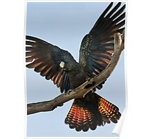 """""""Red Tailed Black Cockatoo"""" Poster"""