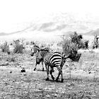 Zebras crossing by Heather  Sugg