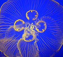 Jellyfish 2 by 7thsensephoto