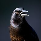 Boat-tailed grackle,  quiscalus major by Arto Hakola