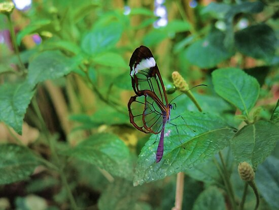 A Glasswing Butterfly by Joyce Knorz