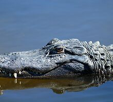 Alligator mississippiensis, american alligator by Arto Hakola
