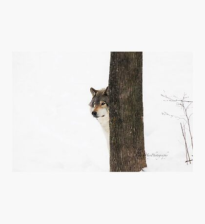 Hide and Seek! - Timber Wolf Photographic Print